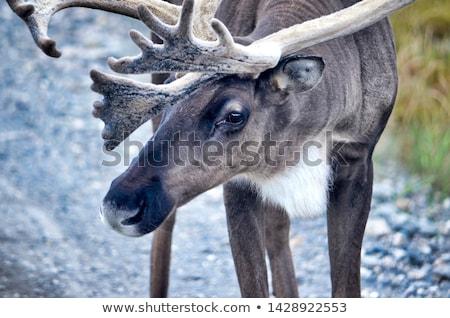 Caribou Closeup  Stock photo © michelloiselle