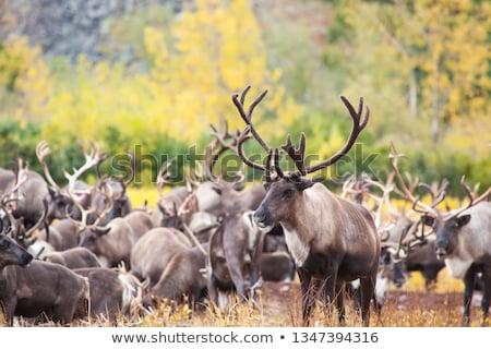 Rebanho norte montanhas Canadá céu floresta Foto stock © michelloiselle