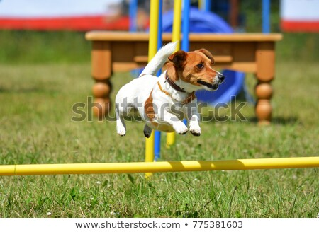 Jack Russell terrier runs agility course Stock photo © Ximinez