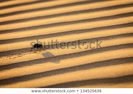 Scarab (Scarabaeus) beetle on desert sand Stock photo © dmitry_rukhlenko