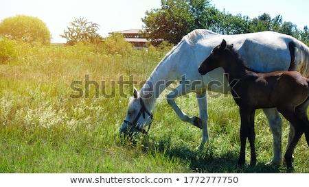 Aranyos barna póni csikó farm jelenet Stock fotó © goce