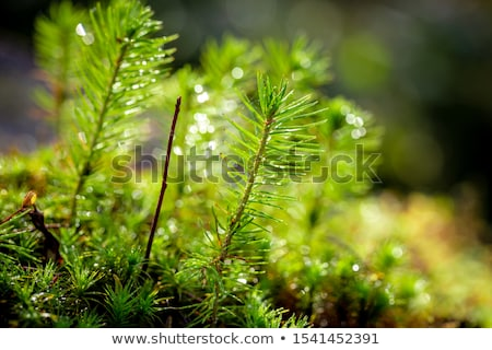 Stock photo: young spruce