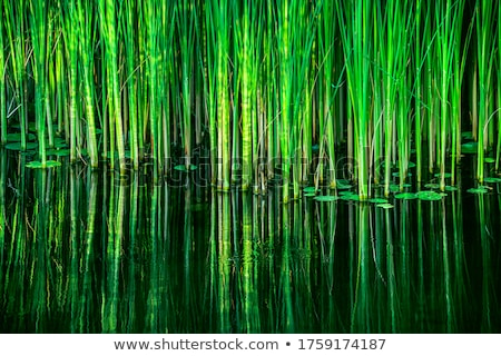 Lake with green reeds Stock photo © azjoma