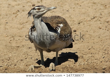 Kori Bustard - Wild and free birds from Africa - Unique colors and camouflage Stock photo © Livingwild