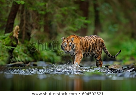 Tigre jungle Homme regarder vert visage Photo stock © Anterovium