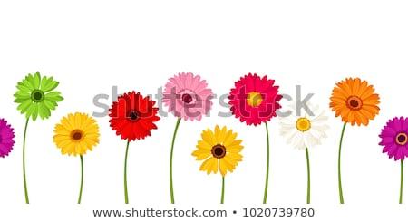 Paars roze Geel daisy bloemen Stockfoto © stocker