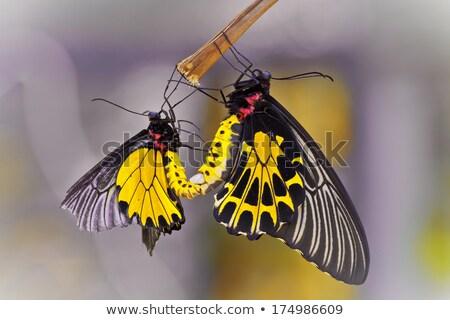pillangó · makró · zöld · természet · kert · tavasz - stock fotó © smuay