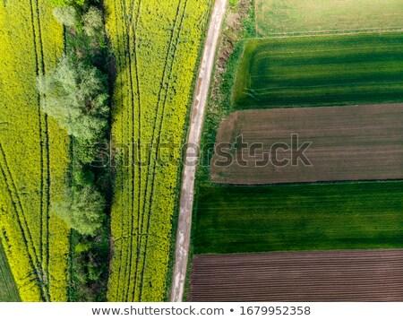 Field of colza Stock photo © xedos45