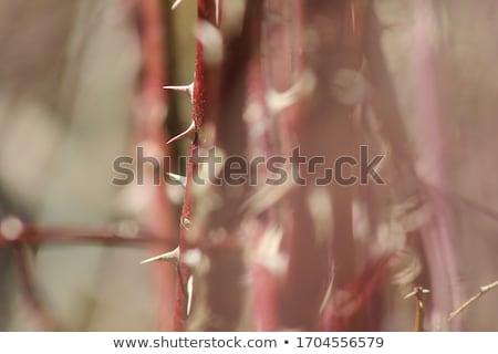 Rosa espinho macro fechar gota de água reflexão Foto stock © pictureguy