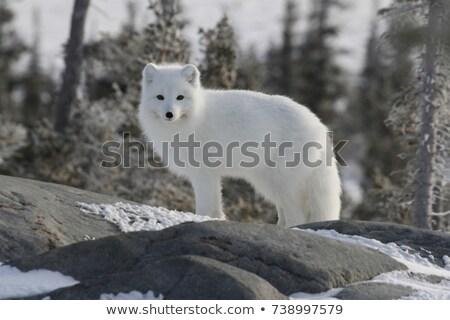 полярный Fox рисованной эскиз иллюстрация собака Сток-фото © perysty
