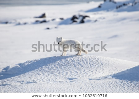 arctique · Fox · photos · arbre · chien - photo stock © nialat