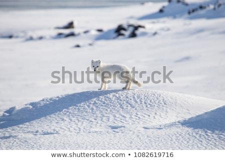 Artico Fox primo piano foto albero nero Foto d'archivio © nialat