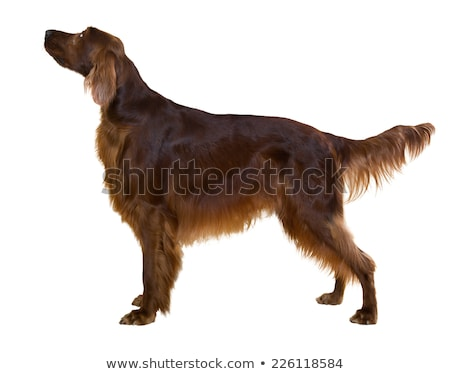 Irish red and white setter male Stock photo © Ximinez