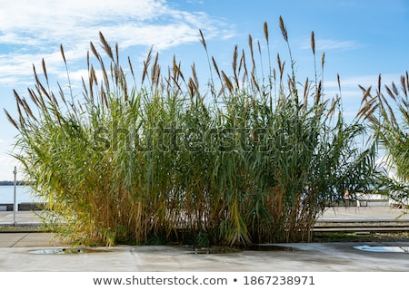 Dry thickets of reeds on the blue sea Stock photo © Fesus