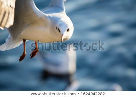 Meeuwen vliegen meer reflectie vogels Stockfoto © stevanovicigor