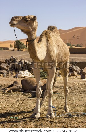 long necked camel stock photo © epstock