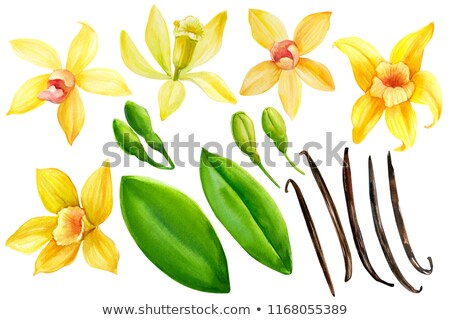 feijão · baunilha · flor · folhas · projeto · chocolate - foto stock © netkov1