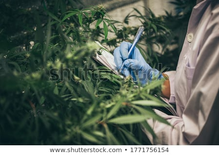 Scientist checking hemp flowers Stock photo © stokkete