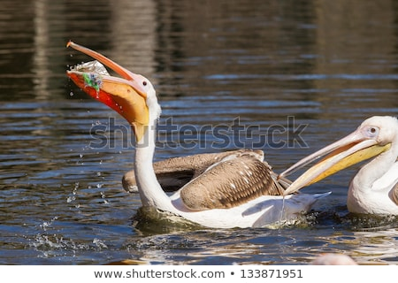 young pelican playing on water Stock photo © taviphoto