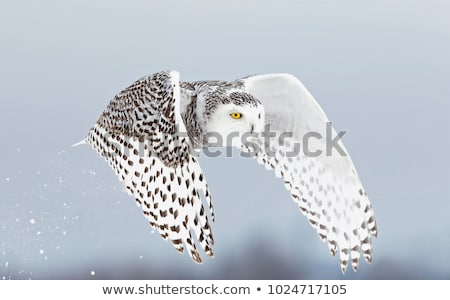 Pływające Sowa śniegu lasu zimą orzeł Zdjęcia stock © martin_kubik