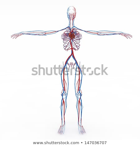 female circulatory system stock photo © bluering
