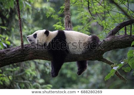 panda · uyku · çay · fincanı · örnek · sanat · siyah - stok fotoğraf © bluering
