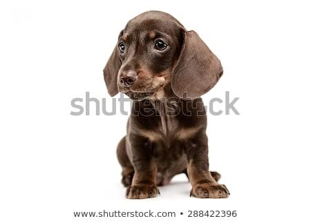 Puppy teckel witte studio schoonheid zwarte Stockfoto © vauvau