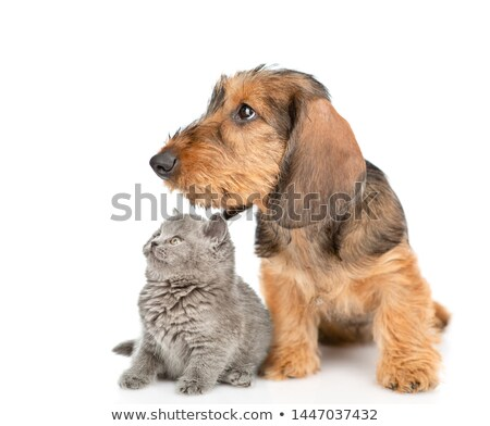 Stock photo: two short hair dachshund lying in a white studio