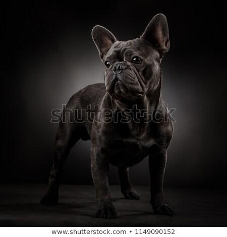 Francese bulldog ritratto grigio studio bellezza Foto d'archivio © vauvau
