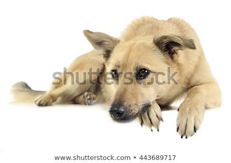 Stock photo: mixed breed dog enjoy photo shoting in studio