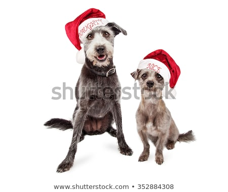 mixed breed funny dog in a grey studio stock photo © vauvau