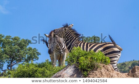 Bonding Zebras in the Kruger National Park. stock photo © simoneeman