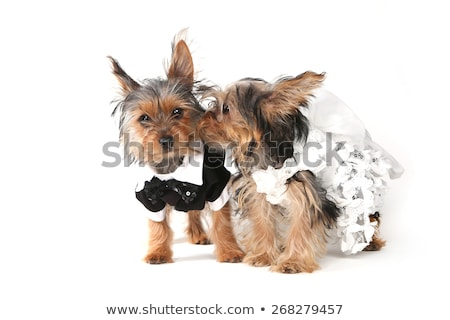 bride and groom yorkshire terrier puppies on white stock photo © tobkatrina