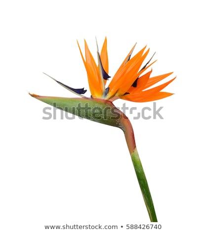 Uccello paradiso fiore natura Foto d'archivio © IS2