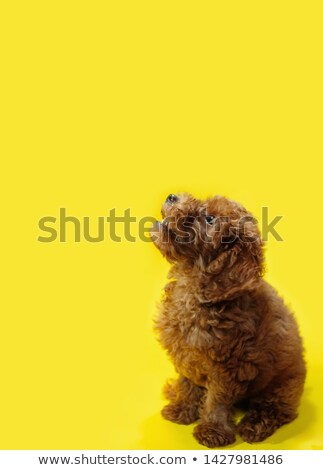 Poodle looking up Stock photo © IS2