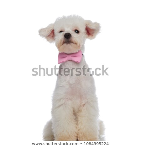 gentleman bichon posing while sitting and looking to side Stock photo © feedough