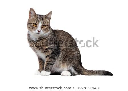 Mix breed cat sitting Stock photo © simazoran