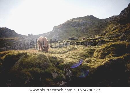 vermelho · vaca · fazenda · carne · animais · animal - foto stock © kotenko