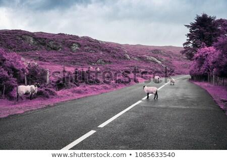 Stock fotó: Surreal Purple Sheep Grazing On Road In Ireland