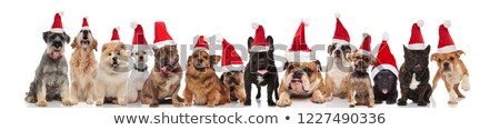 large group of merry santa dogs of different breeds stock photo © feedough