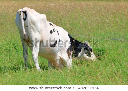 Dairy cows in a greener pastures Stock photo © lovleah