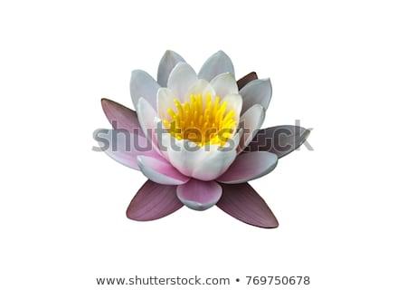 Agua Lily aislado negro flor primavera Foto stock © szefei