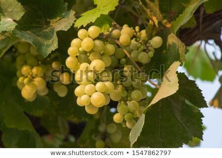 Grape bushes at a farm vineyard Stock photo © masay256