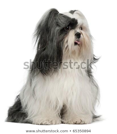 cute · afbeelding · puppy · ogen · witte · jonge - stockfoto © lopolo