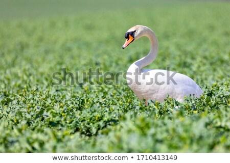 Beautiful Swan Cygnus Olor Zdjęcia stock © Artush