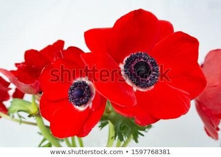 Stock photo: red anemones