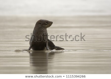 sealion on beach in new zealand stock photo © hofmeester