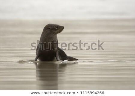 Sealion on beach in New Zealand Stock photo © Hofmeester