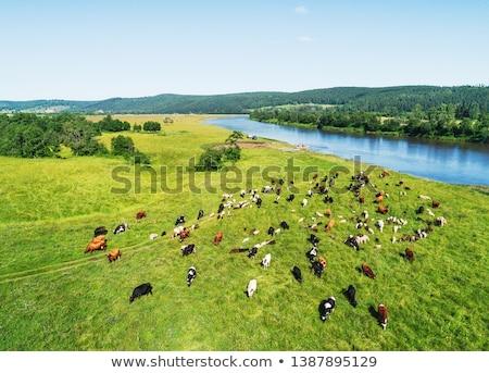 tehenek · birka · testtartás · tájkép · tehén · mező - stock fotó © goce