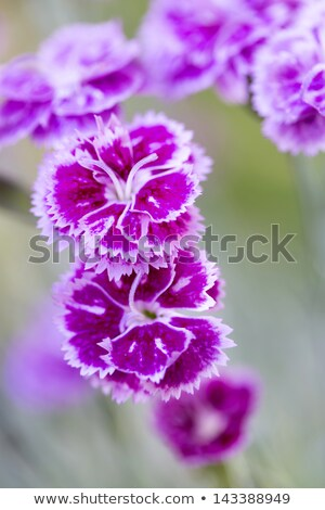 Dianthus Barbatus Or Sweet William Flower Shallow Dof Stok fotoğraf © haraldmuc